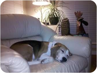 Beagle Dog for adoption in Valley Village, California - Muppet