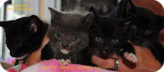 Domestic Shorthair Kitten for adoption in Yuba City, California - *Kitten D-2 Unknwn Age *URGENT