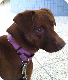 Labrador Retriever/Retriever (Unknown Type) Mix Dog for adoption in North Olmsted, Ohio - Bernie