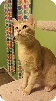 Domestic Shorthair Kitten for adoption in Edmond, Oklahoma - Echo