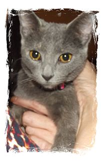 Domestic Shorthair Kitten for adoption in Olmsted Falls, Ohio - Gracie