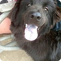 Adopt A Pet :: *Bear - PENDING - Westport, CT