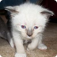 Adopt A Pet :: Queenie's Kittens - Acme, PA