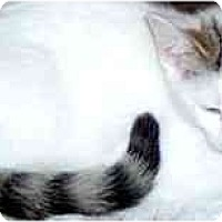 Adopt A Pet :: Kitten 3 - Jacksonville, FL