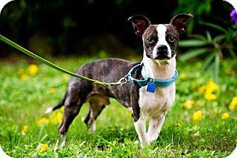Boston Terrier/Chihuahua Mix Dog for adoption in Houston, Texas - Thor