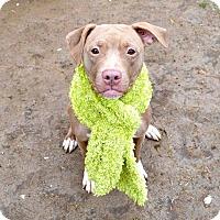 Adopt A Pet :: Apple - Southampton, PA