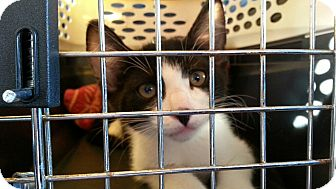 Domestic Shorthair Kitten for adoption in Seattle, Washington - Scamper