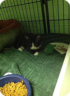 Domestic Shorthair Kitten for adoption in Bloomingdale, New Jersey - Sparks
