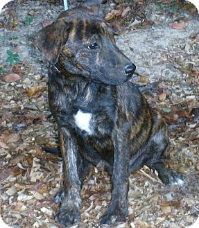 German Shepherd Dog Mix Puppy for adoption in Pewaukee, Wisconsin - Finn - fostered in WI