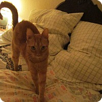 Adopt A Pet :: Nutmeg - Seminole, FL