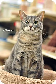 Domestic Shorthair Cat for adoption in Ortonville, Michigan - Clover