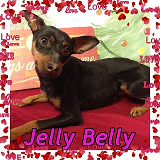 Miniature Pinscher Dog for adoption in Pahrump, Nevada - Jelly Belly