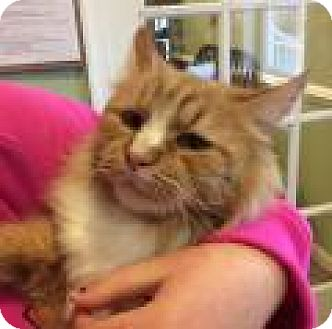 Maine Coon Cat for adoption in Breinigsville, Pennsylvania - Simon