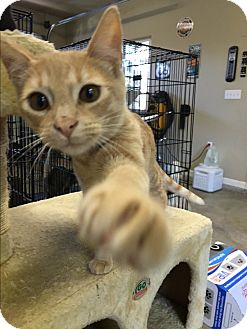 Domestic Shorthair Kitten for adoption in Oakdale, California - Bocci