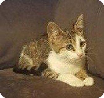 Domestic Shorthair Cat for adoption in Hampton, Virginia - DIAMOND