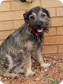 Schnauzer (Standard)/Terrier (Unknown Type, Medium) Mix Dog for adoption in Hagerstown, Maryland - Jesse Belle