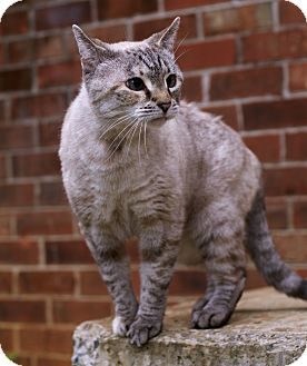 American Shorthair Cat for adoption in benton, Tennessee - Breezy