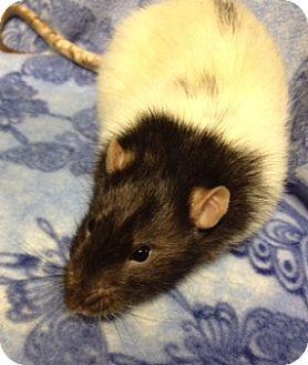 Rat for adoption in Cheektowaga, New York - Bandit