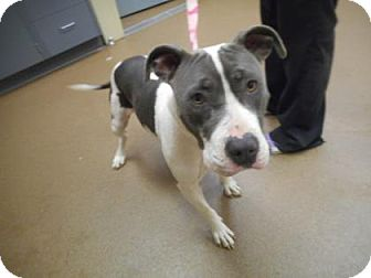 Pit Bull Terrier Mix Dog for adoption in Wichita, Kansas - Cookie