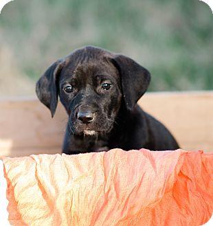 Great Dane Mix Puppy for adoption in Seneca, South Carolina - Liberty $250