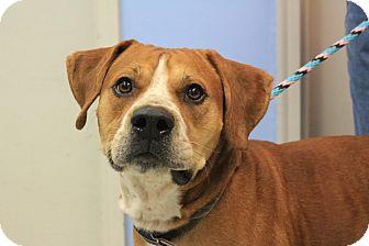 Boxer/Mastiff Mix Dog for adoption in Martinsville, Indiana - Zeke