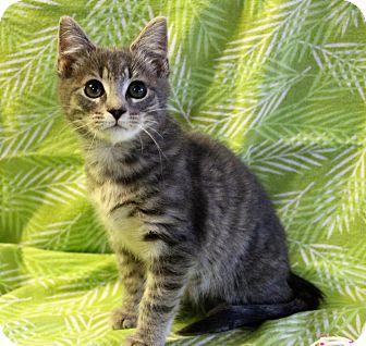 Domestic Shorthair Kitten for adoption in Greensboro, North Carolina - Caesar