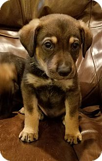 Labrador Retriever/Shepherd (Unknown Type) Mix Puppy for adoption in Fredericksburg, Virginia - Carl