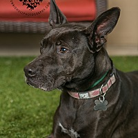 Shepherd (Unknown Type)/Pit Bull Terrier Mix Dog for adoption in Inglewood, California - Sheila
