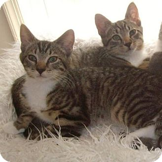 Domestic Shorthair Kitten for adoption in Trenton, New Jersey - Happy (MP)