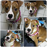 Adopt A Pet :: Niko - Forked River, NJ