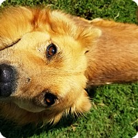 Chow Chow/Golden Retriever Mix Dog for adoption in Watauga, Texas - Rascal