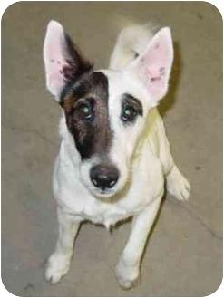 Smooth Fox Terrier Dog for adoption in Columbus, Nebraska - Zip-Update