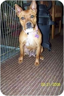 Basenji/American Staffordshire Terrier Mix Dog for adoption in Hayden, Idaho - Kaluha