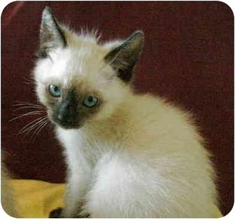 Siamese Kitten for adoption in Davis, California - Dickens
