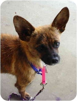 Chihuahua Mix Dog for adoption in Quail Valley, California - Ayla