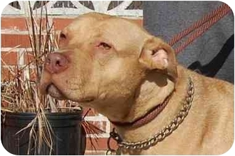 American Pit Bull Terrier Dog for adoption in Long Beach, New York - Kelly