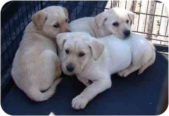 Boxer/Labrador Retriever Mix Puppy for adoption in Haughton, Louisiana - Belinda's pups