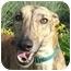 Photo 2 - Greyhound Mix Dog for adoption in Wayne, Michigan - Elmo