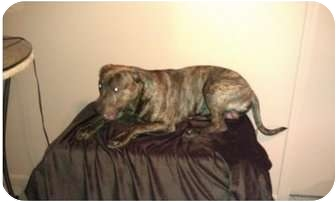 Boxer Mix Puppy for adoption in Romulus, Michigan - HANK