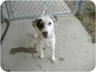 Jack Russell Terrier Dog for adoption in Sachse, Texas - Bubba