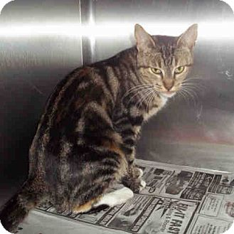 Domestic Shorthair Cat for adoption in Los Angeles, California - Friendly swirl tabby girl