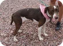 Labrador Retriever/Pointer Mix Dog for adoption in Las Vegas, Nevada - Ariel - N