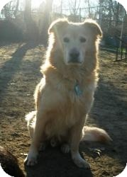Golden Retriever/Chow Chow Mix Dog for adoption in Acushnet, Massachusetts - Devin