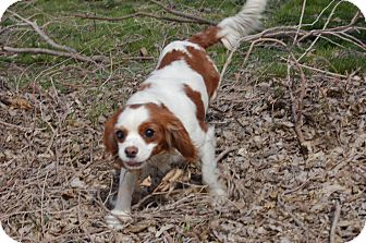 Cavalier King Charles Spaniel Dog for adoption in SLC, Utah - Calla