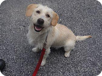 Wheaten Terrier Mix Dog for adoption in Peachtree City, Georgia - Sugar