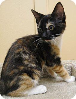 Domestic Shorthair Kitten for adoption in San Leandro, California - Trixie