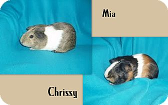 Guinea Pig for adoption in Fullerton, California - Mia & Chrissy (OCCH pigs)