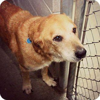 Labrador Retriever/Chow Chow Mix Dog for adoption in Tillsonburg, Ontario - PJ