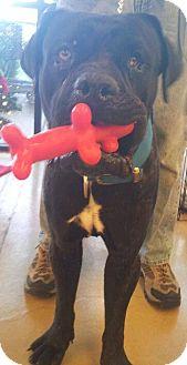 Mastiff/Boxer Mix Dog for adoption in Scottsdale, Arizona - Spinx