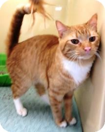 Domestic Shorthair Cat for adoption in Lincolnton, North Carolina - Anthony